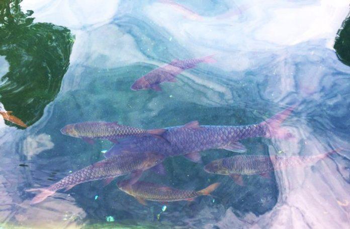 Wisata Ikan Dewa Cibulan (6)