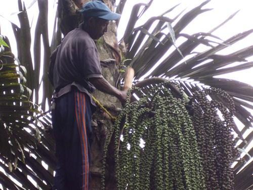 Seorang bapak di Nuabosi Ende sedang memukul-mukul pangkal buah enau