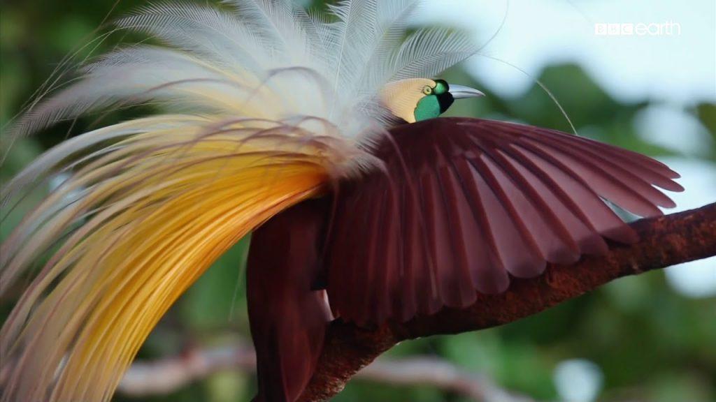 Burung Cendrawasih - Raja Ampat Papua