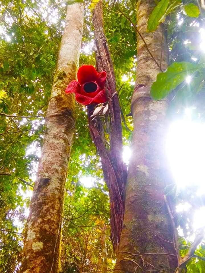 Perbedaan Bunga Rafflesia Dan Bunga Bangkai Garuda Bengkulu